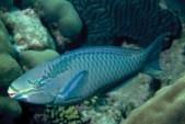 Queen_Parrotfish
