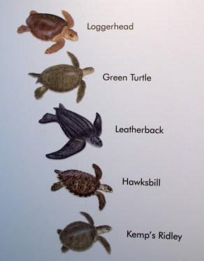 sea-turtle-species-in-brevard