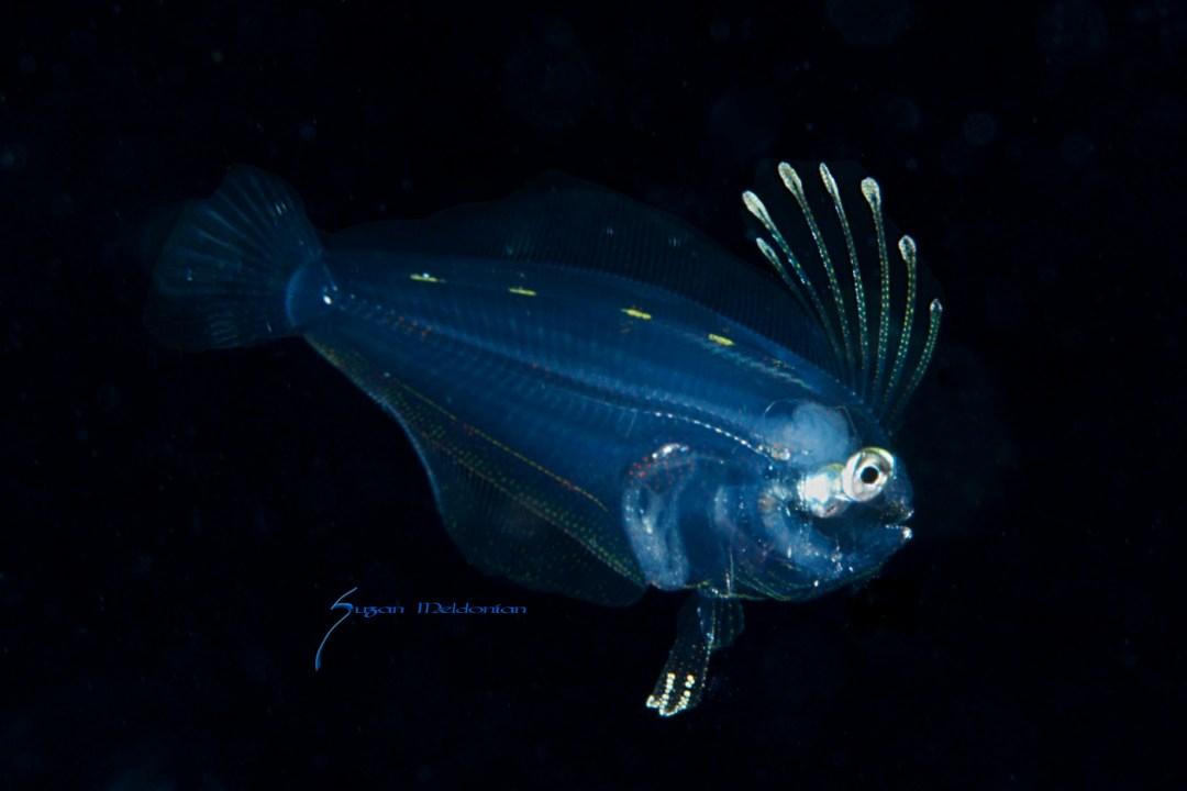 Larval FLounder 8-22-15-6577