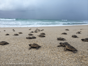 Hatchling Loggerhead sea turtles make their way to the ocean. This photo were taken during a federally permitted sea turtle nesting survey.