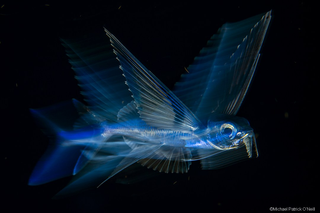 Flying Fish, Exocoetidae sp., drifting at night in the Gulf Stream offshore Palm Beach, Florida, United States.