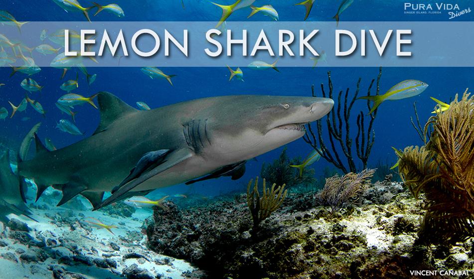 FEB 24: LEMON SHARK DIVES