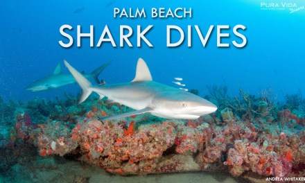 PALM BEACH SHARK DIVES