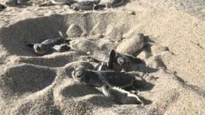 Green Hatchling Sea Turtles