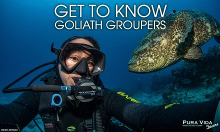 GET TO KNOW GOLIATH GROUPERS