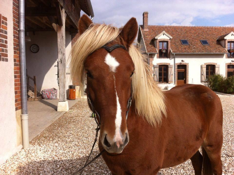 Copar de la Huilerie, cheval islandais, fils de Glóðafeykir frá Halakoti, prend la pause chez Pur Cheval