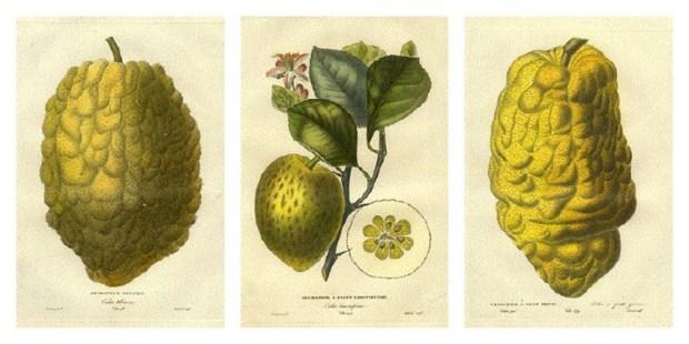cedrat cedratier histoire naturelle des orangers