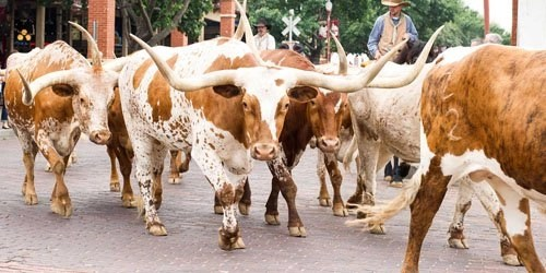 The Fort worth Herd