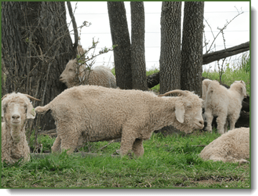 Fincastle Goats