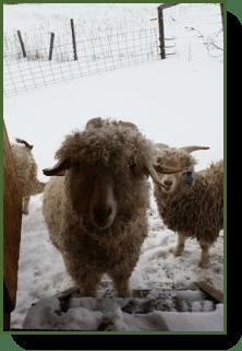 winter-goats