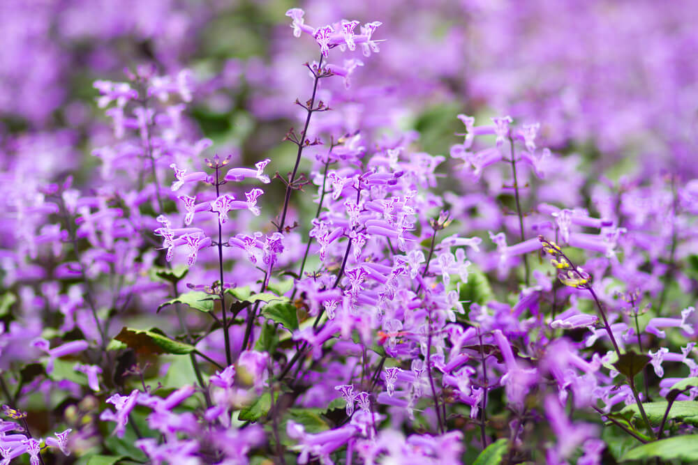 Zones For Lavender