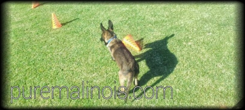 Belgian Malinois Puppies for Sale in Hollywood, California