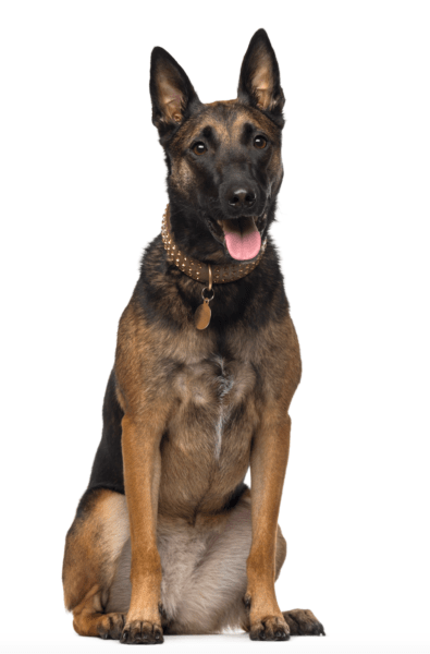 belgian malinois breeders seattle washington