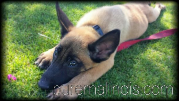 Belgian Malinois Puppy After Exercise