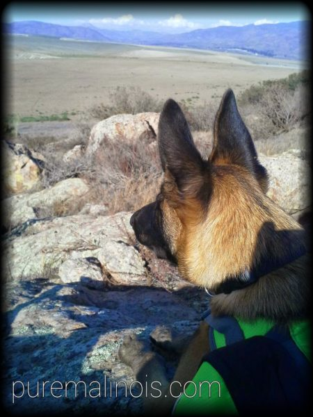 Belgian Malinois Puppy Looking Over The Mountains In The Middle Of A Hike