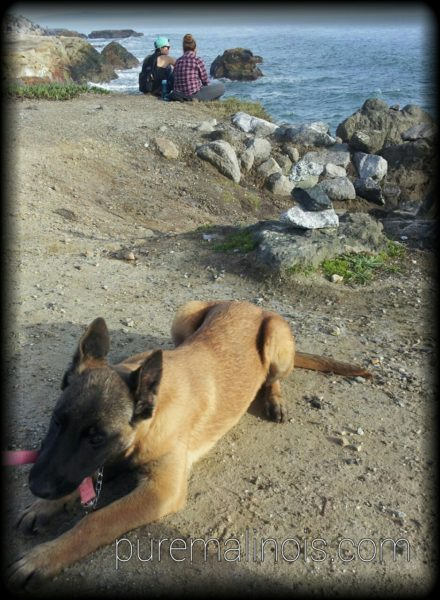 Belgian Malinois Puppy With The Pacific Ocean As The Background