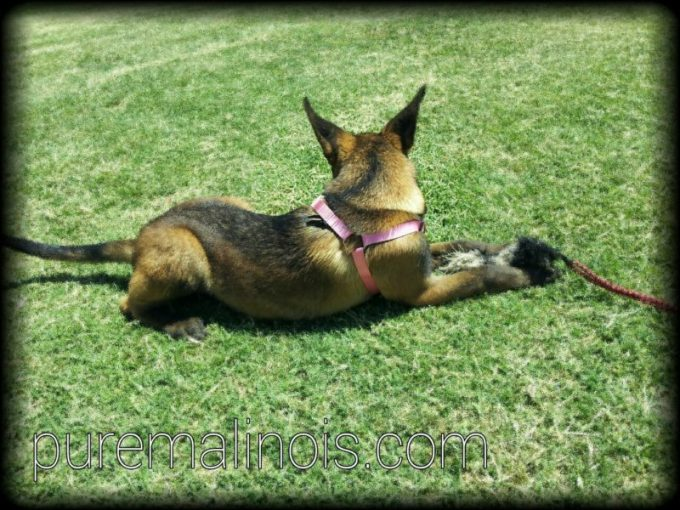 Female Belgian Malinois Puppy With Beautiful Coat