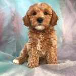 Cockapoo Puppies Saginaw Michigan