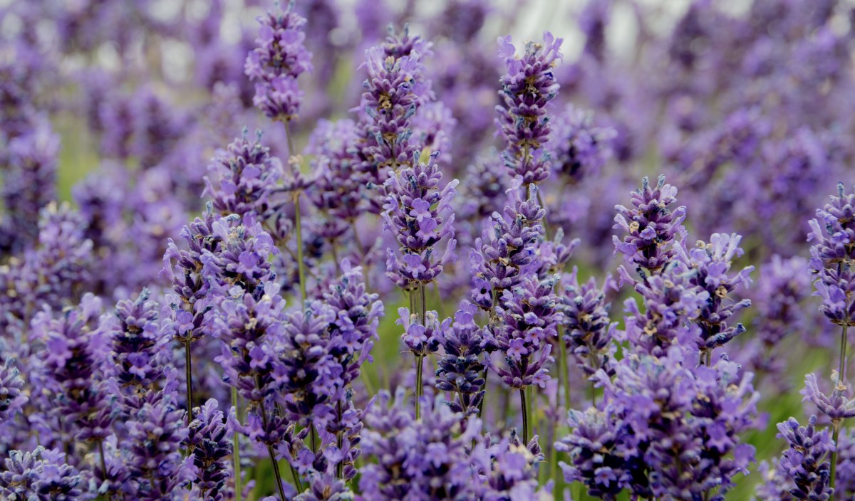 Lavender – Belinda's image