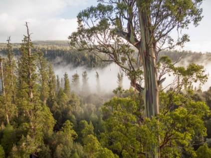 Eucalyptus boom: grootste ter wereld