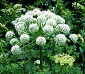 engelwortel bloemen