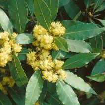 Laurier bloemen