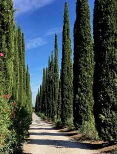 cypres bomen