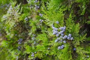 Cypress boom in bloei