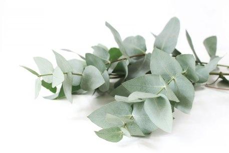 Eucalyptus essentiële olie