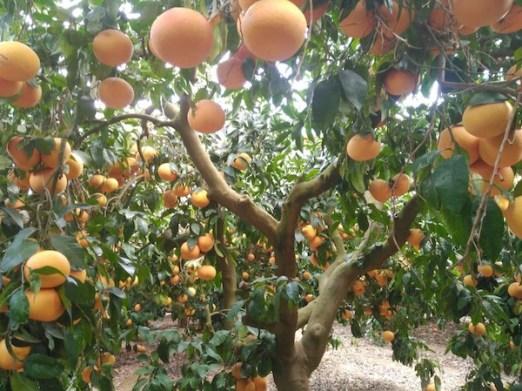 Grapefruit Spanje
