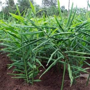 gember plant