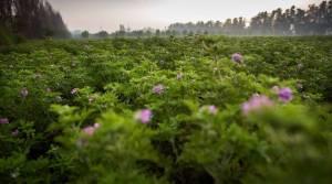 geranium veld
