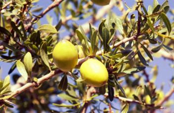 argan vruchten uit de boom voor arganolie