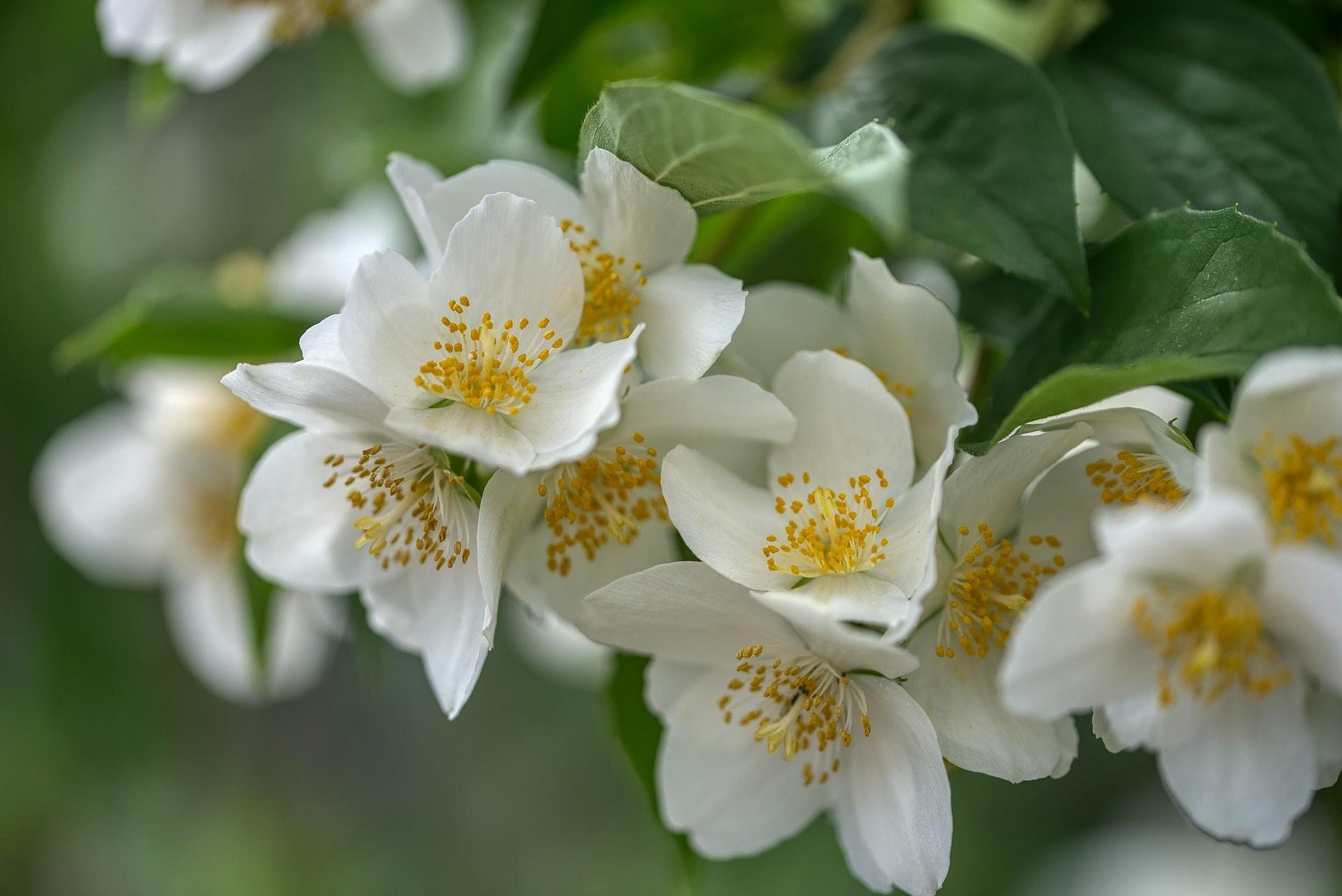 philadelphus jasmin huile essentielle aromatherapie