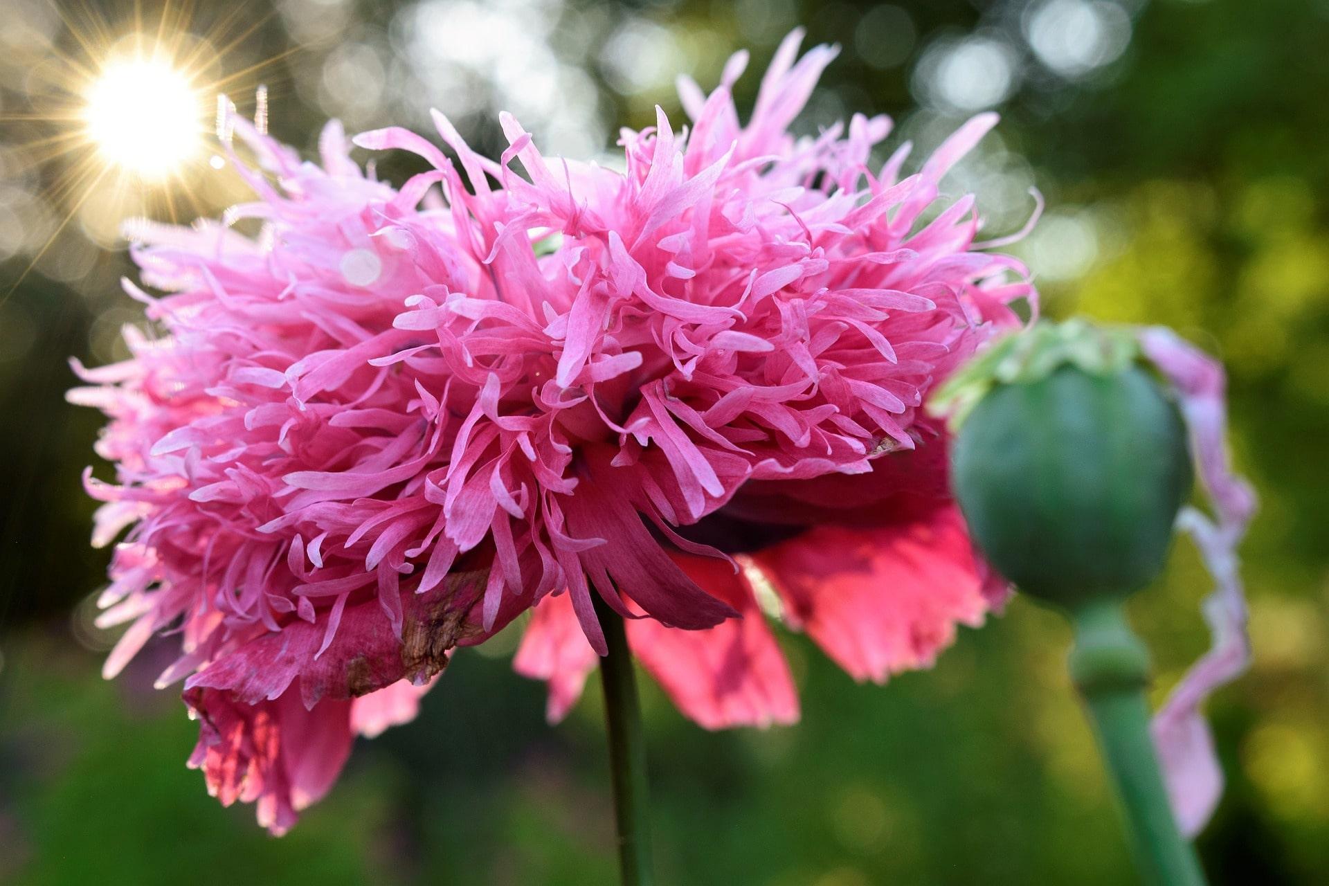 fleur rose huile essentielle aromatherapie
