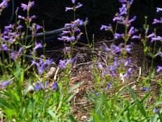 wildflowers at Passe Creek