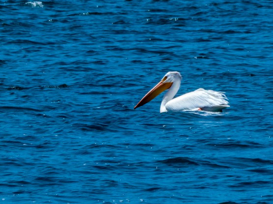 Lake Davis Pelican