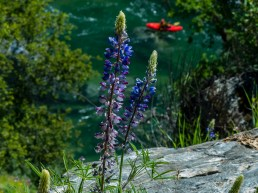 Wildflowers along the Yuba River