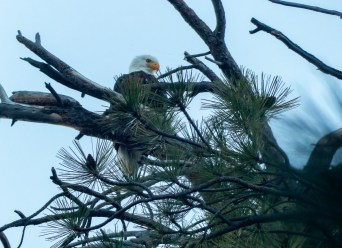 This momma eagle