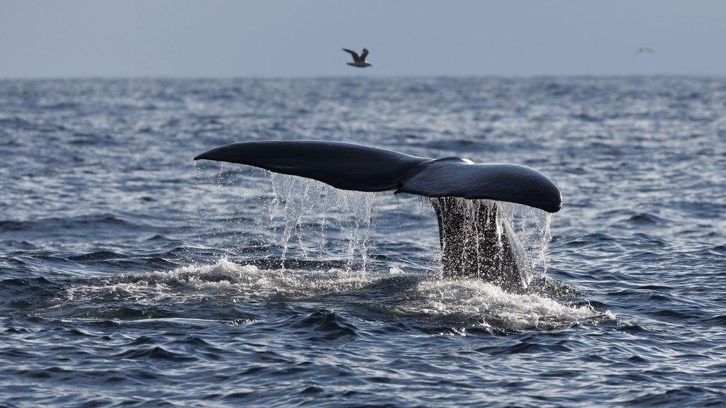 Whale Safari Northern Norway
