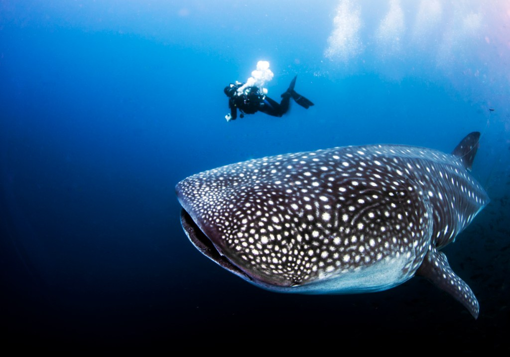 Whale shark with SCUBA diver from Darwin Island in the Galapagos Islands, Ecuador