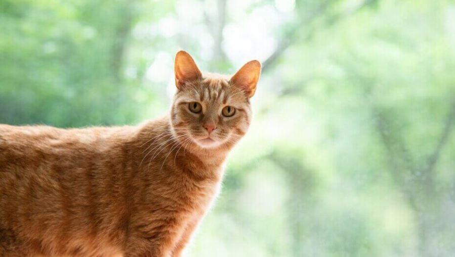 kucing jahe melihat ke kamera