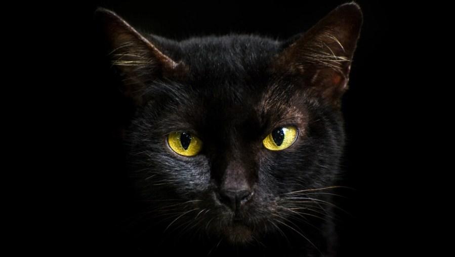 Close up kucing hitam di malam hari