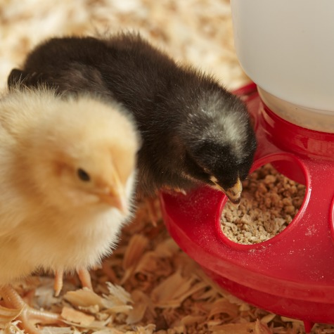 6 Milestones Of Chicken Growth Stages Purina Animal