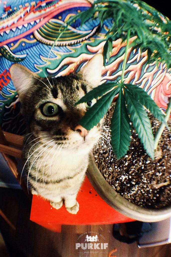 Les Chats Aussi Kif La Weed   PURKIF  Premium Smoking Gear  Pure Lifestyle