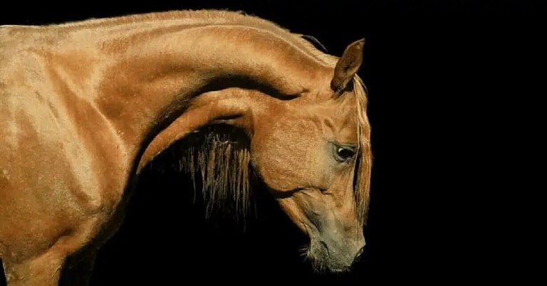 Cavallo purosangue arabo