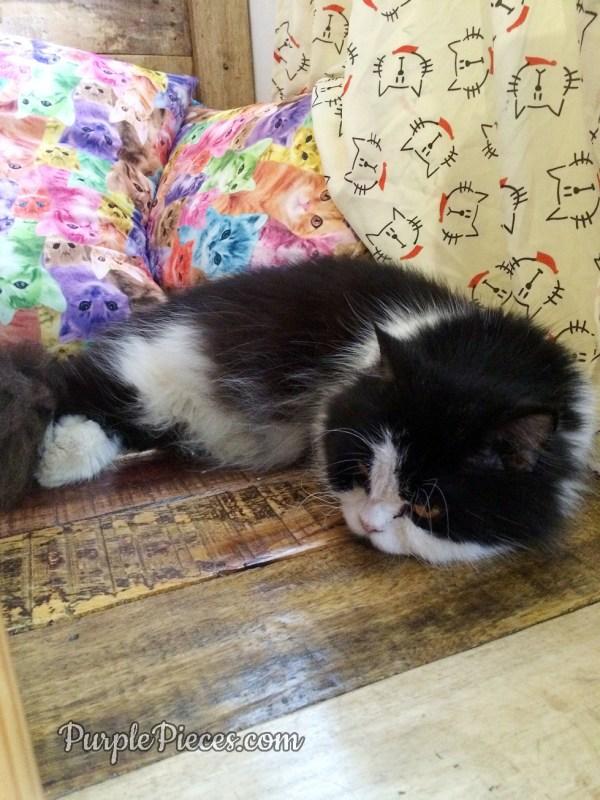 Miao Cat Cafe Oreo the Munchkin Kitty