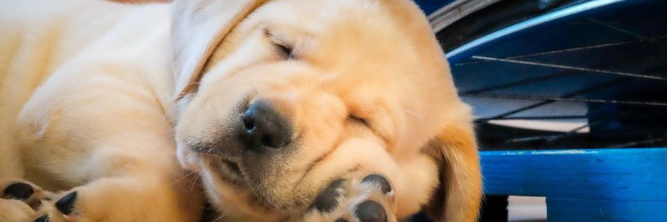 Blonde Labrador slapend