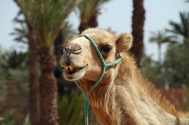 cute-camel-in-morocco