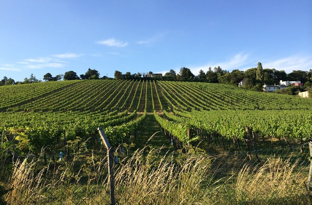 vineyard near heurige